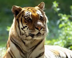 Hunted Animal Tiger HD Desktop ...