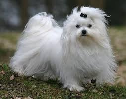 maltese dog. maltese dog breed d