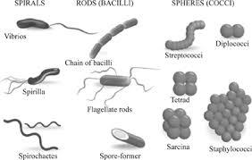 Definition Of Bacterial Morphology Chegg Com
