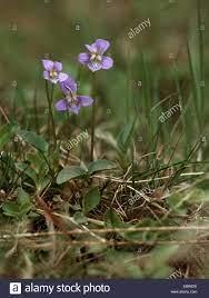 heath violet, heath dog-violet (Viola canina), flowers, Germany Stock Photo  - Alamy