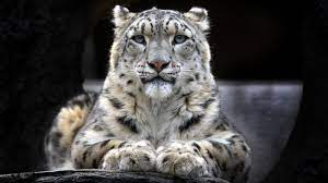 Leopard, Snow Leopard HD Wallpaper ...