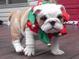 English Bulldog Christmas Puppies! - YouTube