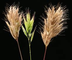 Bromus scoparius L. | Flora of Israel Online