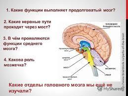 Презентация на тему Какие отделы головного мозга мы ещё не  1 Какие отделы головного мозга