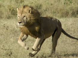 should trophy hunting of lions be banned travel smithsonian their