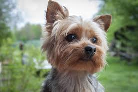 yorkies have a distinctive appearance when pared to other small dog breeds