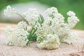 Achillea millefolium (White Yarrow)