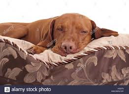 pure breed hunting dog laying on bed ...