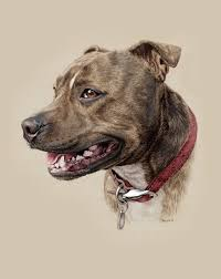 Staffordshire Bull Terrier By Steph Dix Artdesignphotography