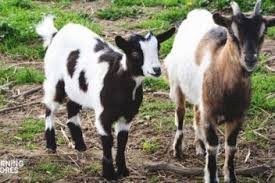 Goat Pregnancy Birth All You Need To Know About Goat Kidding