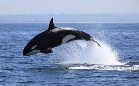 fascinating facts about whales or orcas