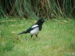 magpies waikato regional council