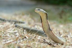 king cobra snake fangs.  Fangs Intended King Cobra Snake Fangs