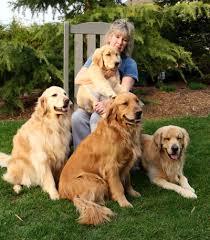 gold golden retriever. Plain Golden Gold Star Goldens Is A Golden Retriever Puppy Breeder Located In South  Jersey With L