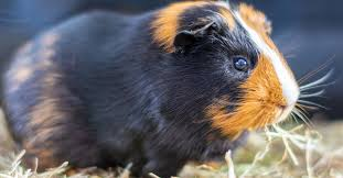 how long do guinea pigs live pawtracks