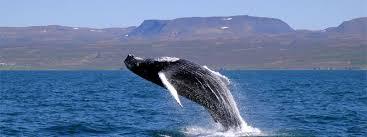 Resultado de imagen de Cetáceos en las Lofoten