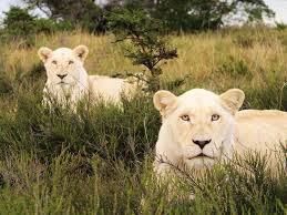 wild animals in african jungle.  African Beautiful Dangerous Wild Animals Pets Of Africa African  Lions In Wild Animals Jungle M