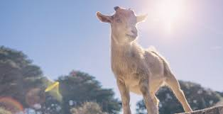 goat yoga invades florida morning ag
