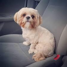 maltese shih tzu riding in the car