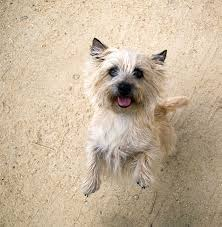 Cairn Terrier Growth Chart Cairn Terrier Dog Breed Information Pictures