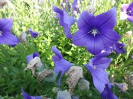 blue balloon flower or platycodon