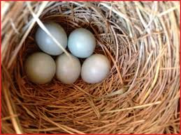 what color are bluebird eggs what color are bluebird eggs 69565 golden gate audubon societytiny nest