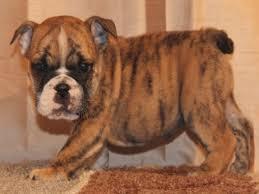 english bulldog puppies for in co jonesboyz bulldogs english bulldog puppies for