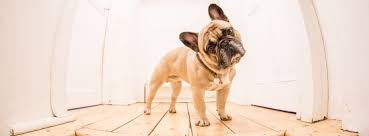 2019 Review Best Food For French Bulldog Puppies Adults