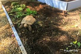 you would expect that after living in our backyard for two years that aesop our desert tortoise would have discovered all there was to see