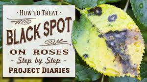 ☆ How to: Treat Black Spot on Roses (A Complete Step by Step ...