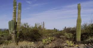 Mexican Cardon Cactus The Worlds Largest Cactus Arizona