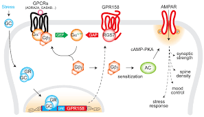 Gpcr Signaling The Kirill Martemyanov Laboratory At The Scripps Research