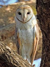 Owl Wikipedia