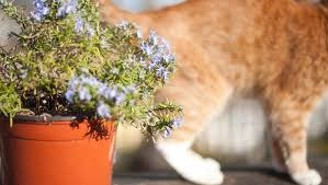 can cats eat rosemary is rosemary safe