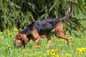 Image result for bloodhound scent tracking