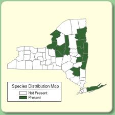 Veronica austriaca ssp. teucrium - Species Page - NYFA: New York ...