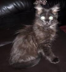on march 19th i adopted a maine mix kitten from the catawba county humane society here in north carolina my 15 year old siamese mix violet
