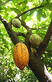 Resultado de imagen de fotos intermon semillas cacao