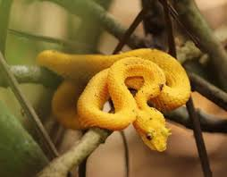 For more information, please contact: Eyelash Pit Viper The Animal Facts Habitat Diet Breeding Behaviour