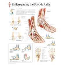 Foot Organ Chart Understanding The Foot Ankle Chart