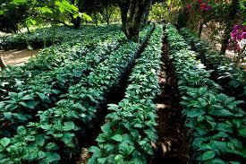 young coffee plants finca malacara coffee farm el salvador