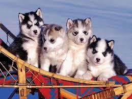husky puppy wallpaper desktop. Delighful Wallpaper Download Wallpaper Husky Puppies Full  With Puppy Wallpaper Desktop Y
