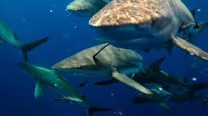 shark attack on humans. Modren Humans HUMAN SHARK BAIT For Shark Attack On Humans