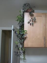 Indoor Climbing Plants U2013 How To Grow Climbing HouseplantsClimbing Plants Indoor