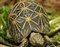 Indian Star Tortoise Diet Chart Indian Star Tortoise Geochelone Elegans Animals A Z