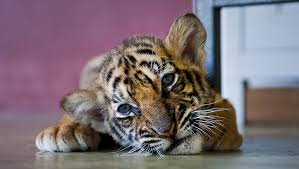 cute baby tiger. Interesting Cute Cutest Baby Tiger Plays U0026 Explores His World Intended Cute Baby Tiger