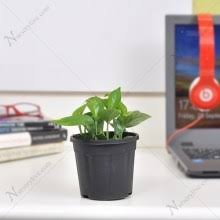 Small plant for office desk Cute Money Plant Scindapsus green Small Plant Intervetcomco Buy Plant For Office Desk Online At Nursery Live Largest Plant