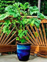 Okra Companion Plants Oncallvirtualsolutions Online