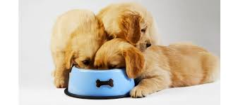 Puppy Feeding Chart Golden Retriever Golden Retriever Feeding Tips Pets World
