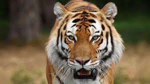 0 Awesome Fantasy Tiger 1080p Full Hd ...